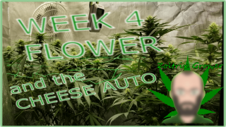 Beginning Week 4 under the P4000 from Viparspectra... and the Cheese Auto!!! | Perpetual Growing