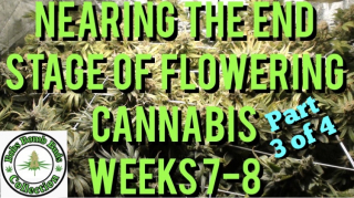Cannabis, What To Do When Nearing The End Stage of Flower, Weeks 7-8 (Part 3 of 4)