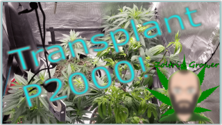 Growing a Monster with the P2000 from Viparspectra | Cheese Auto, Sunset Sherbet and MK Ultra!