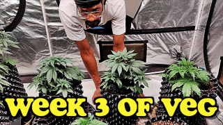VIPARSPECTRA XS4000 LED - Week 3 of Veg : Introducing  Low Stress Training In My Indoor Garden
