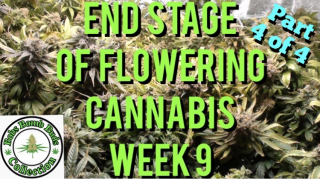 Cannabis, Final Stage of Flowering The Flushing Stage, Week 9 (Part 4 of 4)