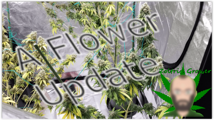 Flower Tent Update | MK Ultra and Sunset Sherbet | Viparspectra XS2000