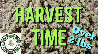 My Cannabis Crop Harvest From My 4 Part Video on:  The 4 Stages of Flowering Cannabis.