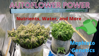 Autoflower Power, Mephisto Inside the Grow Tent, Nutrients,Water,and More, under Mars Hydro FC-E3000