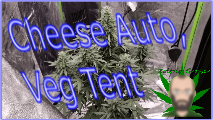 Cheese Auto, Gorilla Glue and Violator Kush! | Growing with Viparspectra P2000
