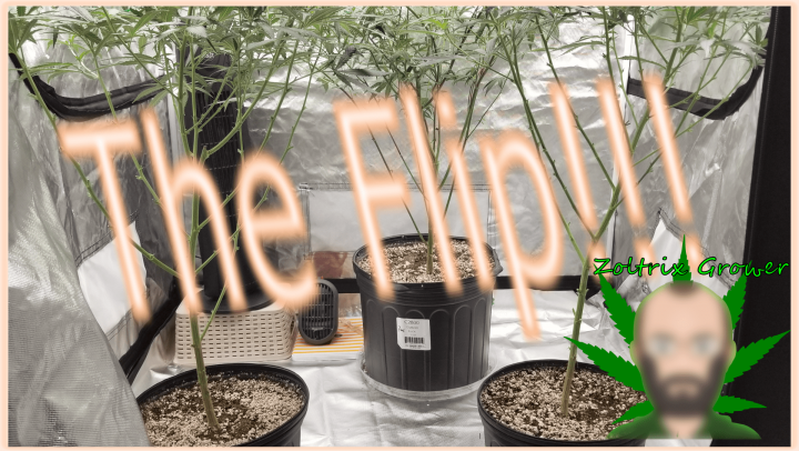 Afghans and the Flip!   MK Ultra and Sunset Sherbet!   Growing Weed with Viparspectra XS2000