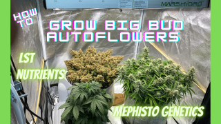 Growing Big Bud Autoflowers, Mephisto Freebie and Toofless Alien Training and Nutrients under Mars Hydro FC-E3000