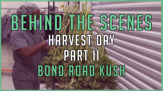 BEHIND THE SCENES | Harvest Day Part Two | Bond Road Kush | Timelapse