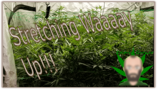 Stretching Up in the Flower Tent | Growing Medical Cannabis | Viparspectra P2000