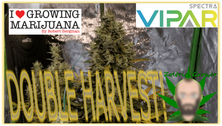 Double Harvest! | Growing Cannabis with Viparspectra XS2000