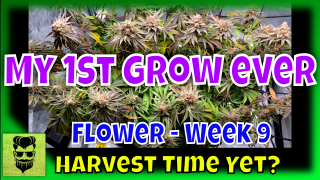 Harvest Time Yet? My 1st Grow Ever - Flower Stage - Week 9
