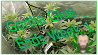 End of Week 1 for Gorilla Glue! | Growing with XS2000 from Viparspectra