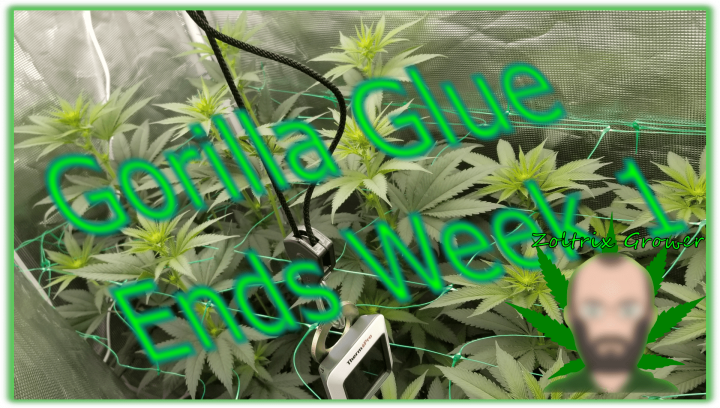 End of Week 1 for Gorilla Glue!   Growing with XS2000 from Viparspectra