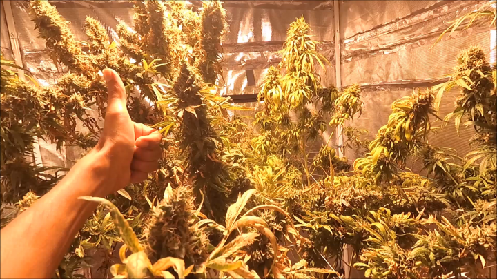 2021 Strictly Organic Grow Run, Flipping into Flower Power Mode! Week 9 Day 63 in Bloom Ripening End