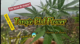 Tangie Cbd Flower - A busca /  Tangie Cbd Flower - The search