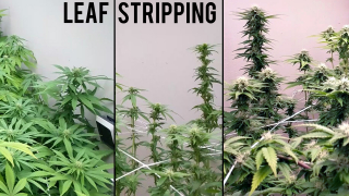 GROWING CANNABIS IN A CLOSET - INCREASING YIELDS IN EARLY FLOWER