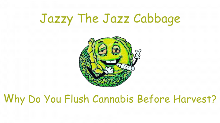 Why Do You Flush Cannabis Before Harvest?