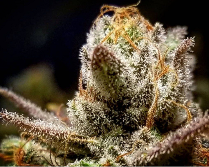 Ep# 65 Week 1 Of Veg How To (LST) Low Stress Training And Topping