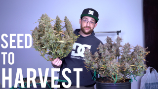 Grow Cannabis 101: Northern Lights 2x2x4 Grow Tent Clone to Harvest