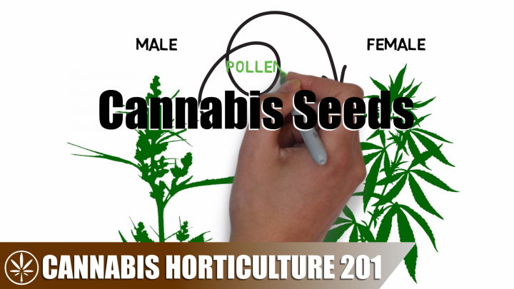How Cannabis Seeds are Created, Obtained, and Stored