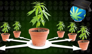 Cloning & Mother Plants - How to Clone Cannabis Guide