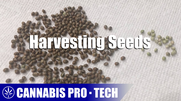 Harvesting Cannabis Seeds