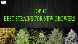 Top 10 Best Strains for new growers