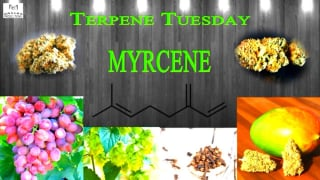 Terpene Tuesday- Myrcene