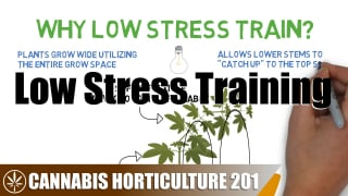 How To Low Stress Train (LST) Cannabis
