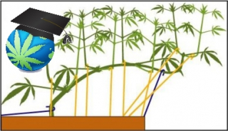 Training Cannabis Plants - LST - Bending Basics