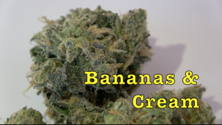 Bananas & Cream (30.31% THC) (Strain Review #3)