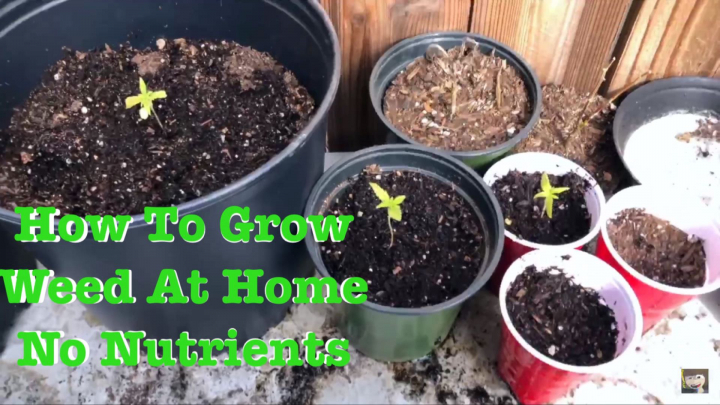 How To Grow Cannabis And Germinate Seeds At Home No Nutrients Outdoor