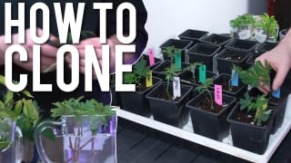 HOW TO CLONE CANNABIS STEP BY STEP *EASY* FOR BEGINNERS