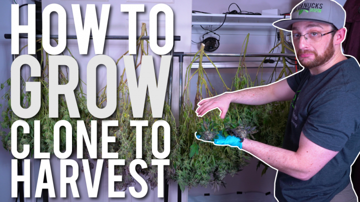 START TO FINISH: HOW TO GROW CANNABIS FROM CLONE TO HARVEST