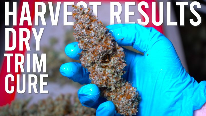 BLUE DREAM HARVEST RESULTS: DRYING, TRIMMING, CURING GUIDE
