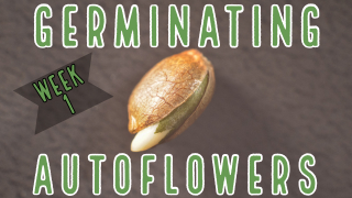 How to Germinate Autoflower Seeds