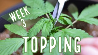 Week 3: How to Top Autoflowers - Our Topping Tutorial