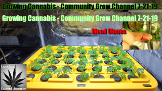 Growing Cannabis - Community Grow Channel 7-21-19