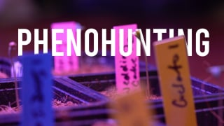 GERMINATION THE EASY WAY & PHENOHUNTING (for beginners)