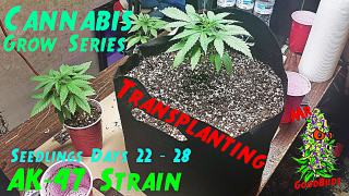 Cannabis Grow Series Ep.3   How to Grow AK-47: Seedling Stage Days 22 - 28   Transplanting