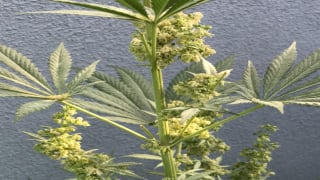This is what a Male cannabis plant looks like..