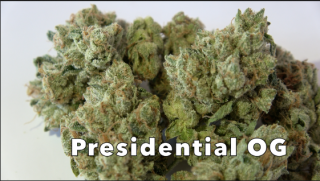 Presidential OG (28.10% THC) (Strain Review #9)