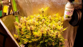 Green Dreamz Garden 2019 electric sky es300 led poor mans timelapse with flower update using The Enhancer for CO2 by TNB Naturals