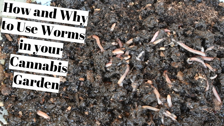 How and Why to Use Worms in your Cannabis Garden