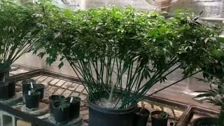 How to TRAIN the LARGEST and HIGHEST YIELDING Marijuana Plants (Daily WeedTube Exclusive Upload)