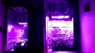 growing cannabis indoor