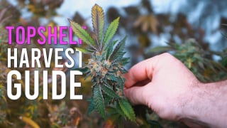 6 CRUCIAL Steps to Top Shelf Harvests