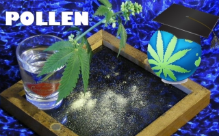 Cannabis Pollen – How To Collect, Store and Pollinate It