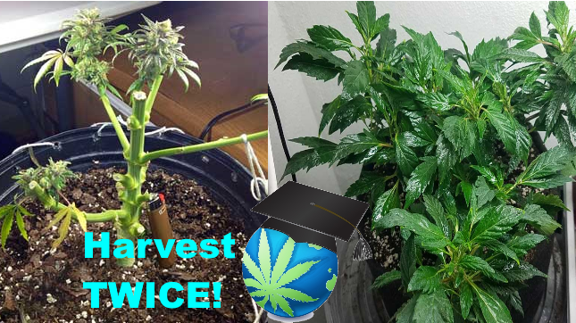 Re-vegging & MONSTERCROPPING Cannabis Plants - How To Guide