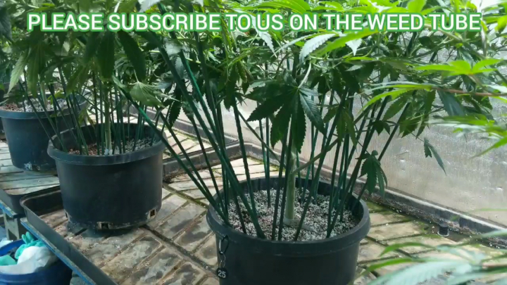 WHY DO WE FLOWER IN A 10 GALLON POT? (WEEDTUBE DAILY EXCLUSIVE UPLOAD)